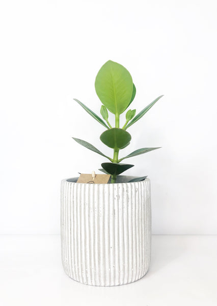 clasia rosea plant | plant gift hampers delivered  | indoor plant delivery melbourne | house plant delivery Melbourne | potted plant delivery Melbourne | potted plants delivered Melbourne | online plant store melbourne | indoor plants delivered | indoor plant gifts | plant gift delivery Melbourne | indoor plant gifts Melbourne | house plant gifts Melbourne