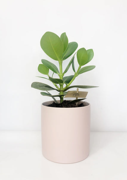 clasia rosea plant | indoor plants | indoor plant delivery melbourne | house plant delivery Melbourne | potted plant delivery Melbourne | potted plants delivered Melbourne | online plant store melbourne | indoor plants delivered | indoor plant gifts | plant gift delivery Melbourne | indoor plant gifts Melbourne | house plant gifts Melbourne
