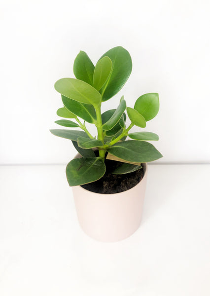 clasia rosea plant | indoor plants | indoor plant delivery melbourne | house plant delivery Melbourne | potted plant delivery Melbourne | potted plants delivered Melbourne | online plant store melbourne | indoor plants delivered | indoor plant gifts | plant gift delivery Melbourne | indoor plant gifts Melbourne | house plant gifts Melbourne | office plants melbourne | flower delivery melbourne
