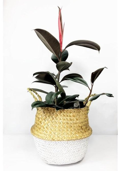 Garner Plant Delivery | same day indoor plant delivery melbourne | ficus burgundy plant | indoor plant gift delivery Melbourne | potted plant gifts | gift hampers melbourne