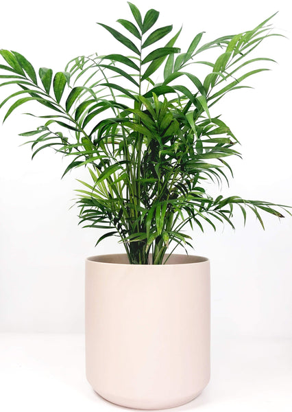 Online plant delivery | same day delivered plants Melbourne | potted plant gifts Melbourne | house plant gift delivery | indoor plant gift delivery Melbourne | plant delivery Melbourne