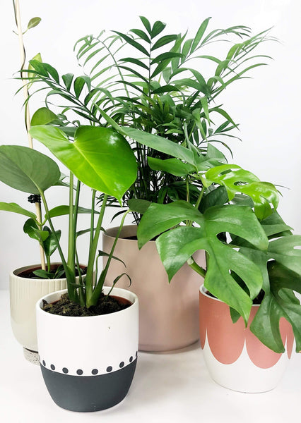 Potted plant subscription | Same day plant delivery Melbourne | Potted plant gifts Melbourne | indoor plant gifts | plant delivery Melbourne | house plant gift delivery | plant delivery online | Garner Plant Delivery