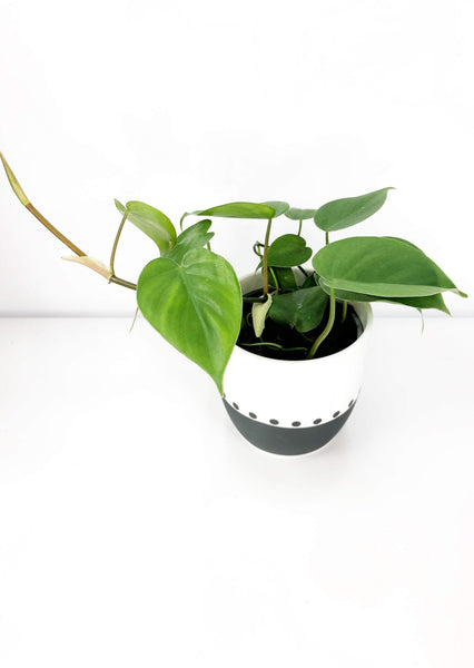 Philodendron Cordatum plant | Online plant delivery | same day delivered plants Melbourne | potted plant gifts Melbourne | house plant gift delivery | indoor plant gift delivery Melbourne | plant gift hampers delivered Melbourne | plant subscriptions melbourne | plant delivery Melbourne