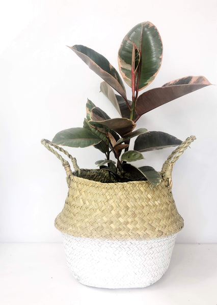 Ficus Elastica Ruby Plant | Same day potted plant delivery | plant gifts online | indoor plant gift delivery Melbourne | Melbourne plant delivery | plant gift delivery Melbourne | house plant delivery Melbourne | plant gift hampers Melbourne