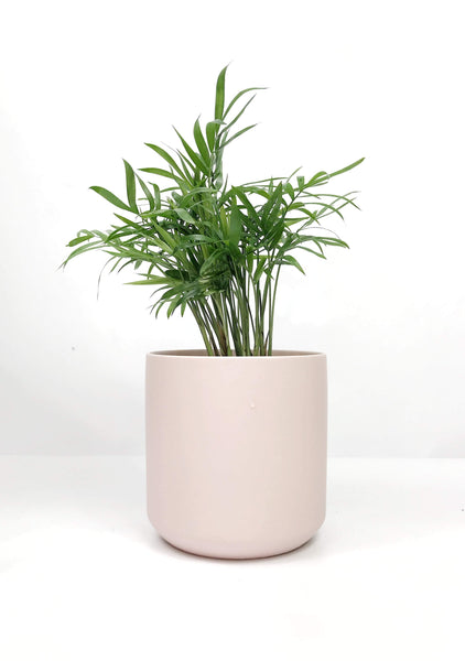 Garner Plant Delivery | Same day delivered plant gifts Melbourne | indoor potted plant delivery Melbourne | Chamaedorea palor palm  plant gift