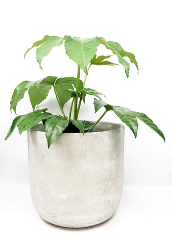 Indoor potted plants same day delivered Melbourne | Plant gift delivery Melbourne Australia | Plant gift hampers same day delivery