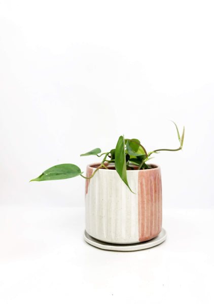 Indoor plant gift delivery Melbourne | potted plants online | same day delivered indoor plants | Plant gifts online same day delivery