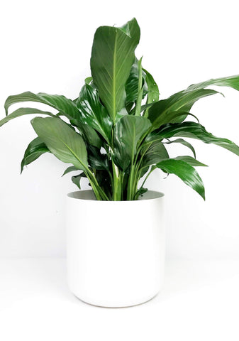 Potted indoor plant delivery Melbourne | same day plant delivery Melbourne | indoor potted plant gifts delivered same day Melbourne | Flower plants delivery