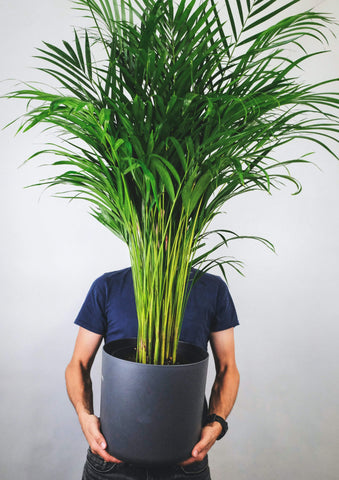Garner Plant Delivery | same day indoor plant delivery melbourne | golden cane plant