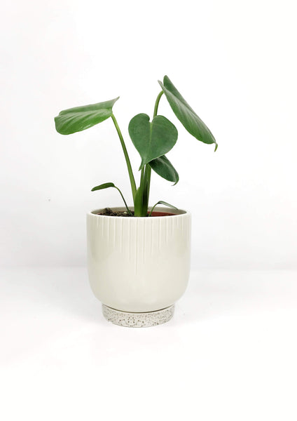 Potted indoor plants Melbourne | indoor house plants | ceramic plant pots | best indoor plants | indoor plants | air purifying plants | indoor plant pots | same day delivered plant gifts Melbourne | Indoor plant delivery Melbourne