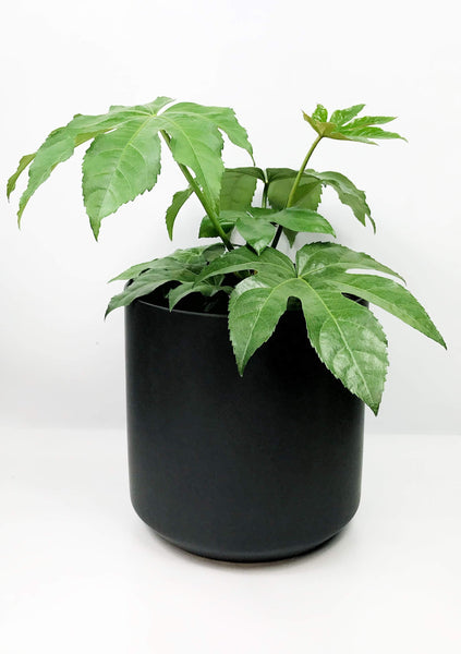 plant delivery Melbourne | plant gift delivery melbourne | same day plant delivery Melbourne | Japanese aralia potted plants online | indoor plant store | office plants Melbourne | house plant gift delivery
