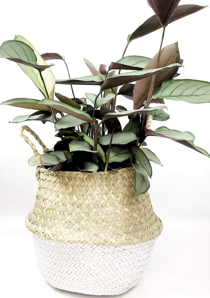 indoor plant gift delivery Melbourne | same day delivered indoor plants Melbourne | potted plants online | house plant gift delivery | indoor plant gifts | Melbourne gift delivery
