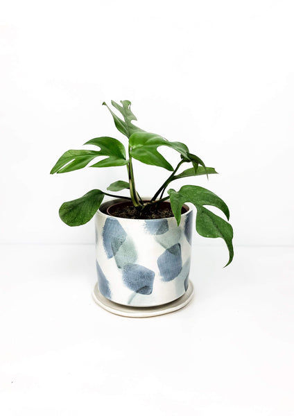 Garner Plant Delivery | Grace rhapidophora plant delivered | online plant store Melbourne | potted plants delivered Melbourne | plant gifts online | hand thrown ceramic pots