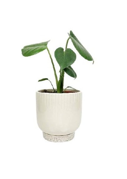 indoor monstera plant | garner plant delivery Melbourne | potted plants same day delivery | house plants online | indoor plant gifts Melbourne | plant pots | planters Melbourne | ceramic plant pots | flower pots | indoor plants | best indoor plants