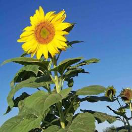 Giant Sunflower Outdoor Competition