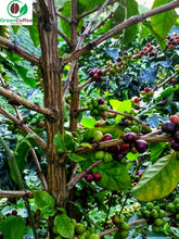 Load image into Gallery viewer, Ethiopian Yirgacheffe Aricha Misty Valley Green Unroasted