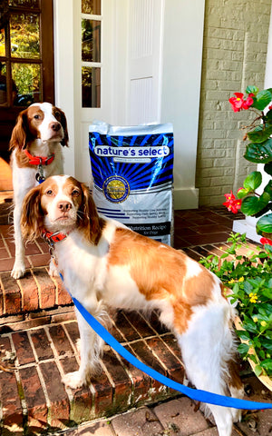 photo owned by jennifer notar happy happy brittany spaniels