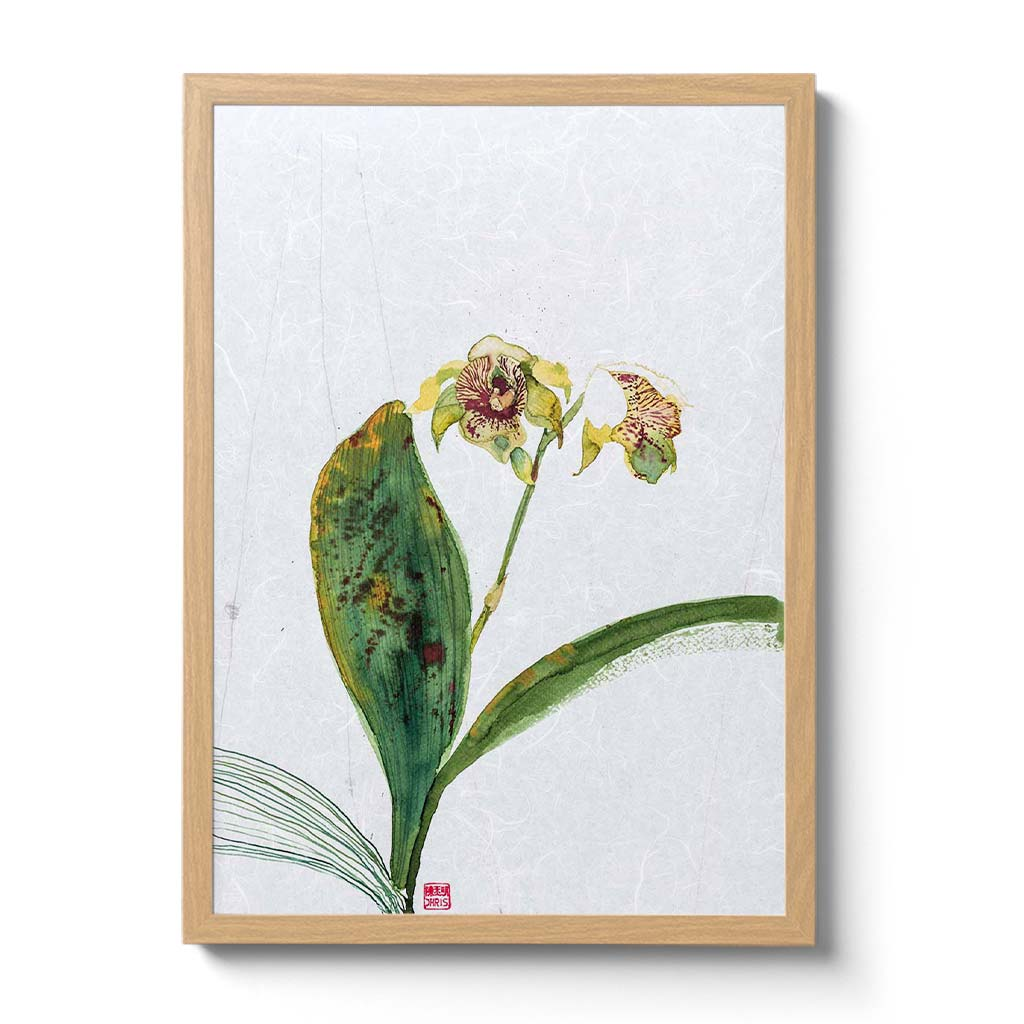 Dendrobium Normanbyens Orchid Fine Art Print by Artist Chris Chun. Printed on Handcrafted Japanese Unryu Paper.