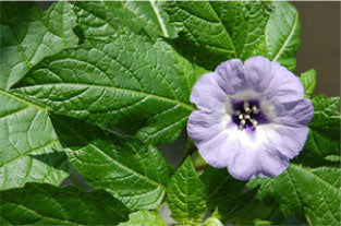 The flower of the apple of Peru (Nicandra physalodes)