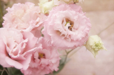 Romantic pink French lisianthus flowers photography by Karen Alderson