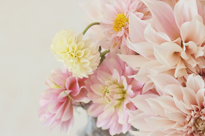 Pastel pink blush and lemon dahlias