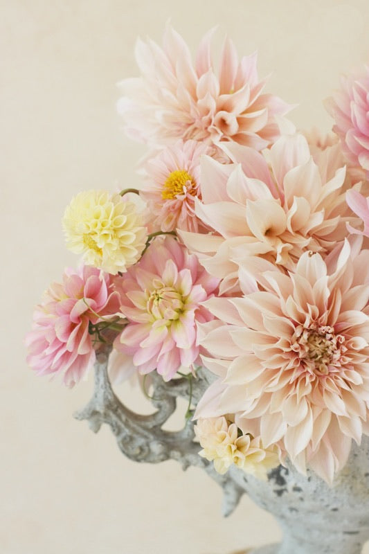 Cafe au Lait, pink and lemon dahlias garden flowers arrangement