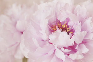 Pink peony macro closeup art photography wall decor