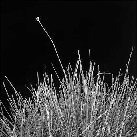 Frosted Button Grass - Simon Olding