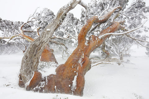 Snowgum in blizzard by Rob Blakers