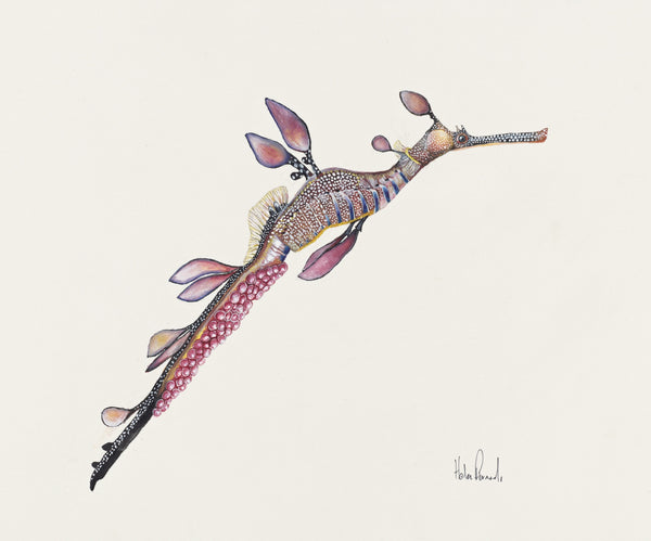 'Weedy Sea Dragon (Phyllopteryx taeniolatus)' by Helen Barnard