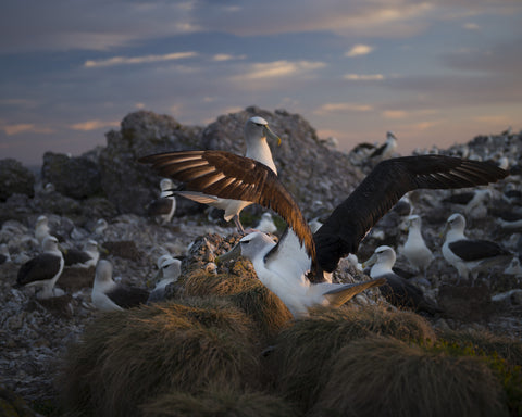 Last Light, On Albatross Island 2014 by Matthew Newton
