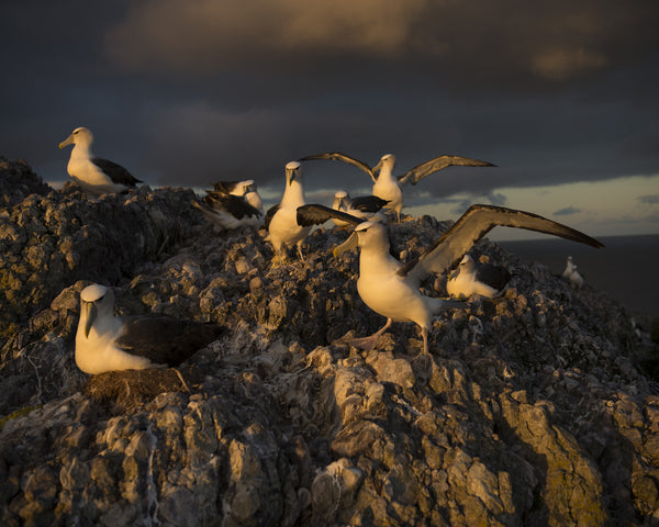 Main Colony 4, On Albatross Island by Matthew Newton