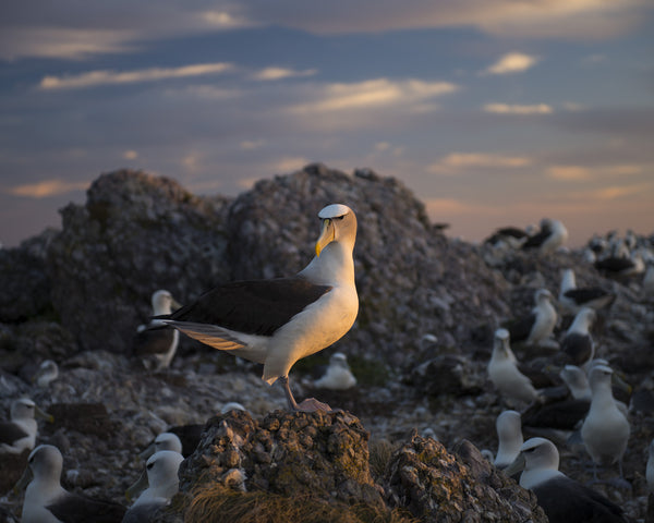 Main Colony 5, On Albatross Island by Matthew Newton