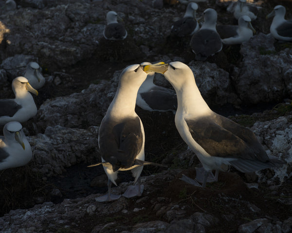 The bond, On Albatross Island 2014 by Matthew Newton