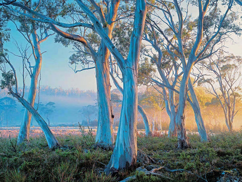 Navarre Snowgums by Rob Blakers