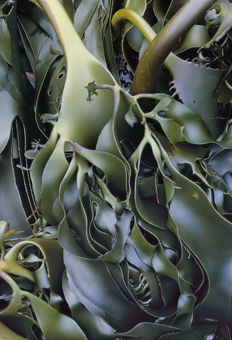 Kelp - Colour' by Chris Bell