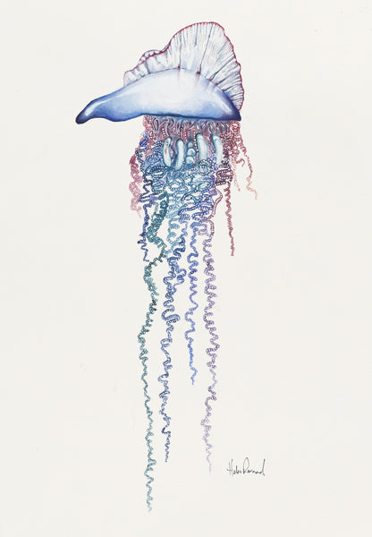 'Portuguese Man of War (Physalia physalis)' by Helen Barnard