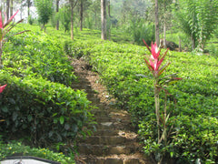Homelands of Tea - Sri Lanka