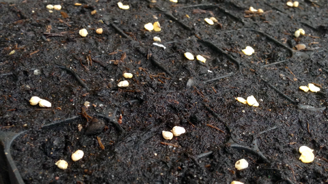 seeds germinating