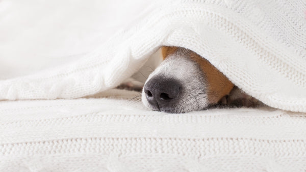 A dog is huddled under a blanket. Only the snout can be seen
