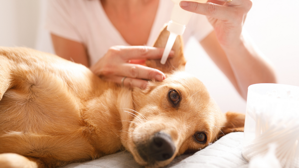 Treatment of an ear infection in dogs