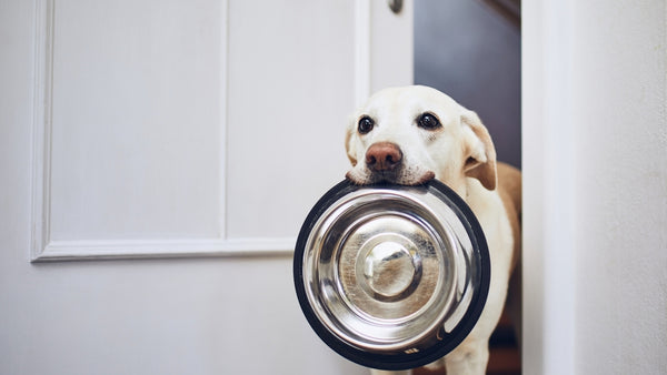 A dog has a bowl of food in its mouth, signalling that it is hungry