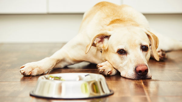 Dog lying on the floor in front of a bowl of food, looking glum