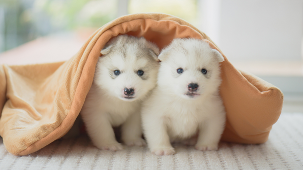 Dandruff in puppies: Puppies lying under a blanket