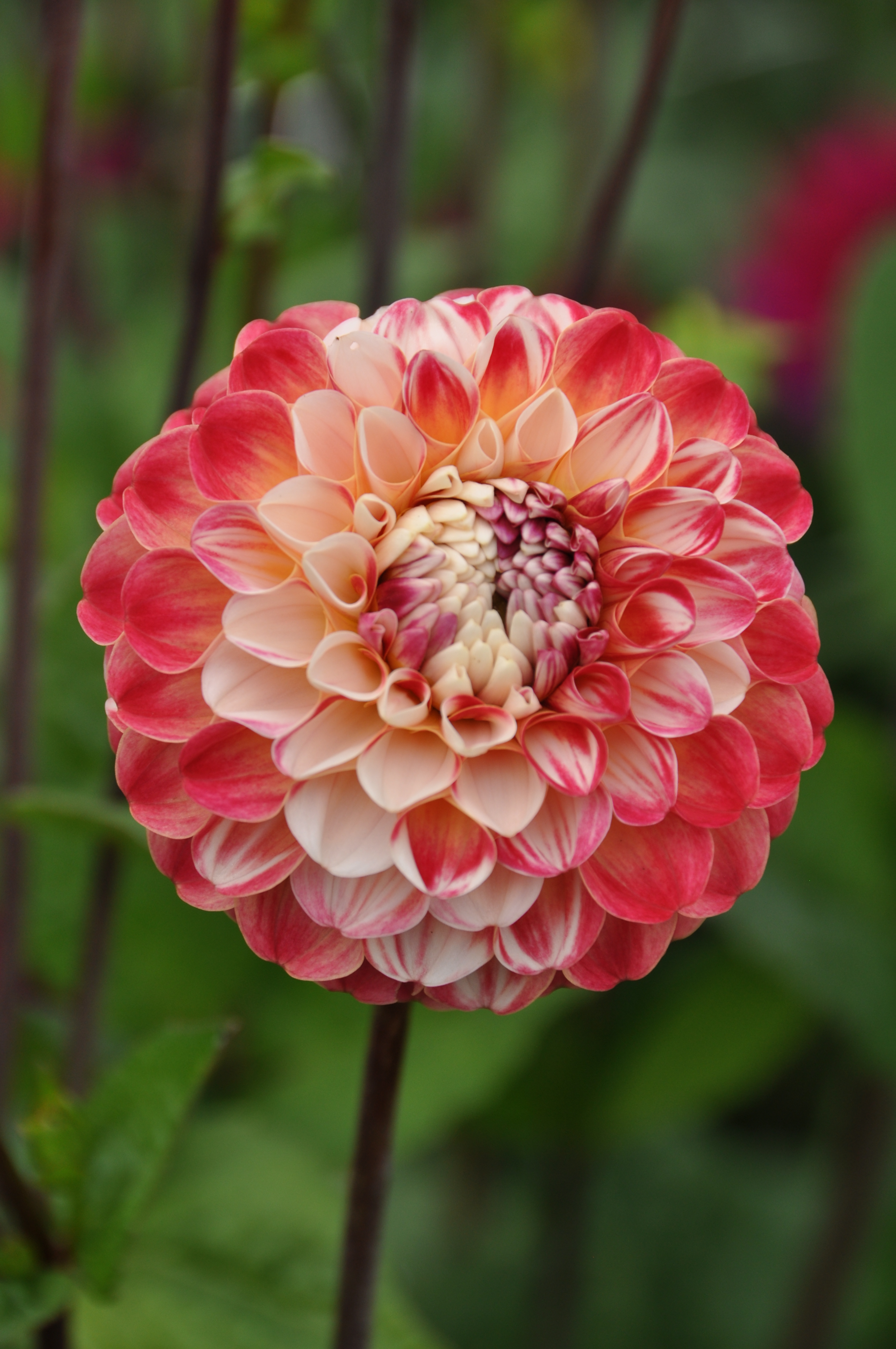 Dahlia Holly Hill