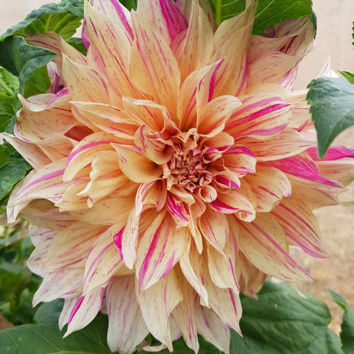 Dahlia Cafe Au lait Twist