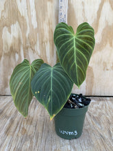 Load image into Gallery viewer, Philodendron Verrucossum X Melanochrysum 'Splendid'