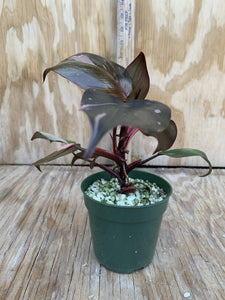 Philodendron Pink Princess *dark princess, not Thai* *Multiple Growth Points*