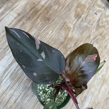 Load image into Gallery viewer, Philodendron Pink Princess *dark princess, not Thai* *Multiple Growth Points*