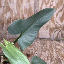 Load image into Gallery viewer, Philodendron Hasthatum 'Silver Sword' HUGE!